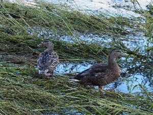 OLYMPUS OM SERIES (いつもの風景) 今朝の撮影  鴨川の流れはほぼ正常に。 一部の残土?には餌を探す野鳥も*** al