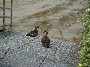 OLYMPUS OM SERIES (いつもの風景)増水。 朝は未だ階段は水没していなかったが 午後になり 遊歩道・階段は完全水没。 野