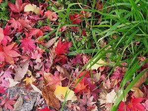 OLYMPUS OM SERIES (いつもの風景) 昨夜から小雨、、、 画像は昨日の鴨川護岸遊歩道の落ち葉。 紅葉と草の対比が綺麗でし