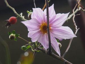 OLYMPUS OM SERIES (いつもの風景)皇帝ダリア 我が家の玄関前庭園の皇帝ダリアが開花。 昨日から咲いていたかも。。場所が