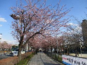 川口の活性化 住みよい街にするために・・・・ この時期、埼玉高速鉄道 川口元郷駅上の「安行桜」が5分咲きとなっています。 そろそろ春の兆しが、川口