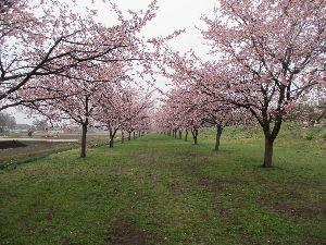 川口の活性化 住みよい街にするために・・・・ 今、埼玉・坂戸市の北浅羽さくら堤公園で「傘度にっさい桜まつり」が3月17日~25日開催されている。