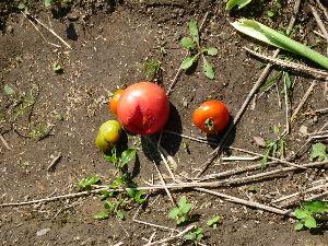 家庭菜園の新人 今年はトマトが豊作だけれど、色付いた途端に次々とヒヨドリに食い荒らされる。 何か対策を考えなければ(