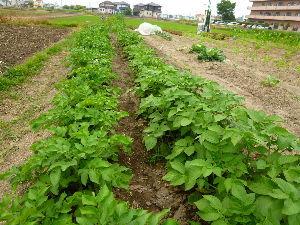 家庭菜園の新人 スーパーの芋は種芋のように防腐処理がされていないので腐り易いらしいです。なので、植える時は切らずに丸