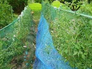 家庭菜園の新人 ヒヨドリ対策に防鳥ネットを被せてみたが今度はコガネムシが食い荒らしに来た。 次回は防虫ネットにしよう