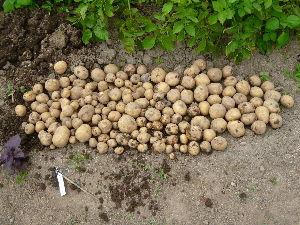 家庭菜園の新人 ジャガイモ、三分の一程度を掘り返してみました。 まぁまぁの出来かな。残りの株は後の楽しみに残しておこ