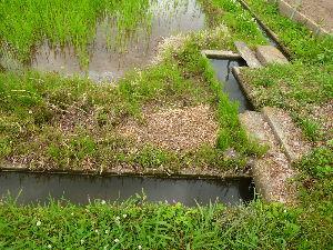 家庭菜園の新人 隣の田んぼに水が入り水路が復活したのでポリタンクの出番は一先ず終了。 すごく楽になった。ず~っとこの