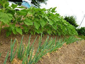 家庭菜園の新人 ヒマワリの成長の速さにはオドロキ・・・