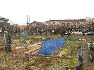 家庭菜園の新人 本当にくそ寒い日が続く。余りに寒すぎて野菜も成長を止めてジッとしている感じ。 2月20日頃まで待って
