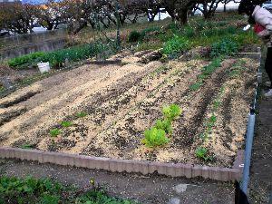 家庭菜園の新人 新たに借りた家庭菜園、雑草の根っこを取り除きながら耕し耕し、粘土質なのでもみ殻を7袋/45Lを土に漉