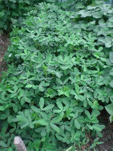 家庭菜園の新人 夏野菜も終わり(キュウリ、トマト、スイカ)枯れ始めた株を処分して来ました。淋しい限りです。 今年はス
