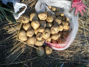 家庭菜園の新人 スーパーで一袋158円で買った小粒のジャガイモ5個を埋めて置いたら大粒小粒合わせ何倍にもなって収穫出