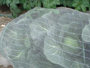 家庭菜園の新人 2月にヒヨドリに全滅されたキャベツ、網を掛けて再挑戦したら まぁまぁのサイズに育ってきました。
