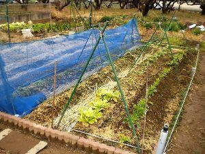 家庭菜園の新人 新たに借りた農園に移植したキャベツや、ブロッコリー、白菜、やっと根付いたばかりなのに、何とヒヨドリの