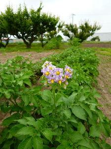 家庭菜園の新人 新たに借りた畑、期待できそう( ^ω^)・・・。 種芋のジャガイモも、スーパーで買った小