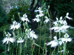 春よ早く来い。      hanamameさん 今晩は。   今日は一日中小雨が降る寒い日よりです。  昨日は猛暑日
