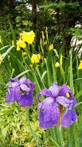春よ早く来い。 ※            雨降りにはアヤメが似合いますね。