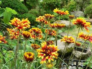 春よ早く来い。   hanamameさん 今晩わ。   松虫草とスカピオサは違う花ですよ。  スカピオサは6月中旬頃