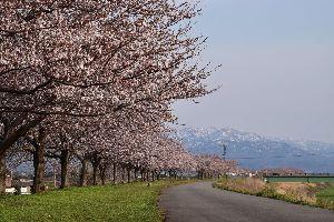 ことわざ教室 花は桜木(さくらぎ)人は武士  花の中では桜が最もすぐれており,人の中では武士が 最もすぐれていると
