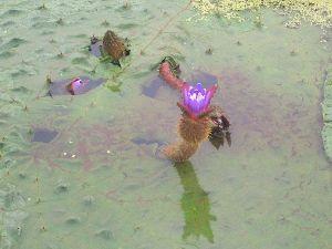 ことわざ教室 『泥中(でいちゅう)の蓮(はちす)』  泥中の蓮とは、汚れた環境の中にいても 、それに染まらず清く正