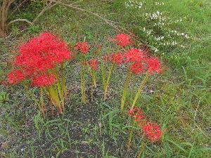 ことわざ教室 曼珠沙華の花を探していたらいつも いっている プールの庭園に咲いていました・ パチリ  なんか葉っぱ
