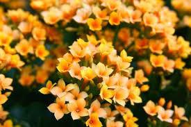 ユーミンっていいな♪ シエロさん、おはようございます。 亜美です。  うちのカランコエも蕾のまま 未だに咲いてくれません。