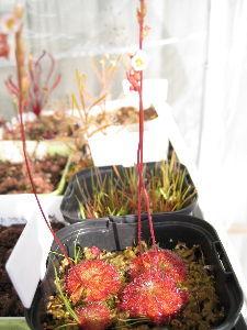 食虫植物 こんにちは 此方も段々と寒さの緩む日が出てきました。まだ朝の冷え込みは氷点下の時が多いものの 2月も