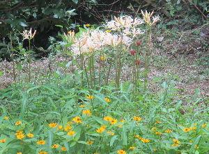 はじめまして 庭に咲いた白い彼岸花、手前はメランポジウムです