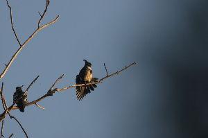 気軽に写真撮影を 1269画像に続く  カンムリクロカッコウハヤブサが樹の枝に留まり、時々羽を広げる動作を繰り返す