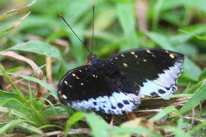 気軽に写真撮影を タイの蝶  ディルティアオオナズマと呼ぶらしいが蝶に関して無知なので詳しい事は分かりません