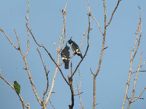 気軽に写真撮影を Black Baza(カンムリ.クロカッコウハヤブサ)  私の好きな画像、今季も寫すことが出来ました