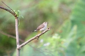 気軽に写真撮影を Red-breasted Fiycatcher(オジロヒタキ)  此の鳥は簡単に出出合えますが若鳥が