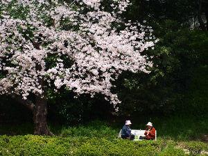 test 桜の下で、お弁当開きましょ♪