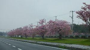 信州自然談話室 河津桜が 早くも見ごろを過ぎてしまいました、1週間前には まだ咲き始めたばかりだったので油断していま