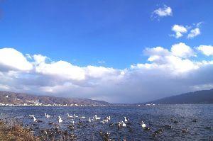 信州自然談話室 昨日から少し積雪ですが、雨に変わってきました。  地元、諏訪湖の白鳥です。22羽確認しました。 カモ