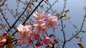 信州自然談話室 1週間経ち 開花も進んでいます。 昨日の日曜日 さくら祭りが開かれましたが 花の少ない祭りになったよ