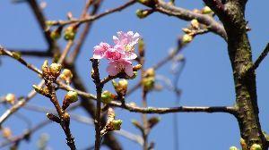 信州自然談話室 紅梅 良い色ですね~ 我が家の白梅は 昨日咲き始めたばかりです、今年は 遅い・・・  近くの河津桜も