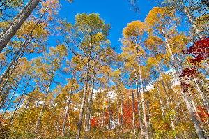 信州自然談話室 紅葉が降りてきました。  八ケ岳の中間辺り、1500mあたりの紅葉です。 名所のカエデは早めに終わっ