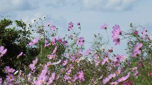 信州自然談話室 コスモスが綺麗に咲いています。 秋には コスモスが 良く似合う♪  近くの田圃でも 稲刈りが始まりま