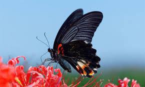 *~完全なるひとりごと~* 今日の夕方、よその庭で『黒アゲハ蝶』を見ました。  この蝶についてはいろいろな由来があるので検索して