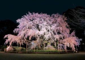 *~完全なるひとりごと~* もう3月中旬ですね。桜の開花も早そうですね。急に暖かくなりましたね。『六義園の桜』