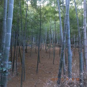 京都のタクシードライバーとお話ししませんか? 鎮守のラジヲ体操場への 山道の竹林  此処のタケノコが採れるのは そんなに遠い日ではないですね