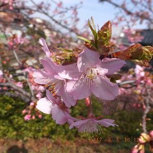 京都のタクシードライバーとお話ししませんか? 結構咲いてる🌸もありますが 全体的にはチラホラ咲き