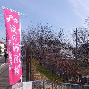 京都のタクシードライバーとお話ししませんか? 見頃には未だ早い 淀の河津🌸