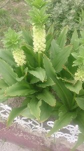 一日の想い出 朝から暑い~~ パイナップルリリ咲きました!
