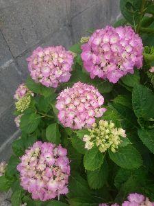 一日の想い出 おはよう! 我が家の紫陽花