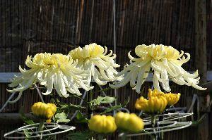 一日の想い出 菊(黄、白)18-10-25