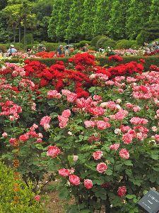 お暇な時間にどうぞ~♪  もしさん ロマンさん今日は、今日は今度は新宿迄電車に乗って新宿御苑の バラの花を撮って来ましたよ、