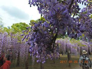 お暇な時間にどうぞ~♪  もしさん ロマンさんお早う御座います、昨日は「元気で歩こう会」で埼玉県の 「藤の牛島」へ藤の花を見