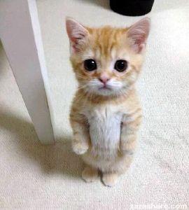 完全室内飼の猫さん マンチカン  短足